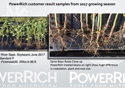 PowerRich customer result samples from 2017 growing season. Swan River Sask: Soybeans June 2017. Left Standard P; Right PowerPak30 25lbs 9-36-9. Same bean roots close up. PowerRich treated beans on the right show huge difference in nodulation, plant and root size.